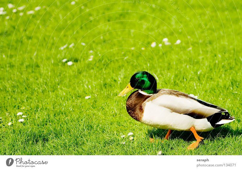 Erpel Entenvögel Erholung Pause ausruhend Vogel Quaken Schnabel Feder Stockente Tier Natur maskulin Wildtier Wiese Weide Wachsamkeit Blick Blumenwiese Gras