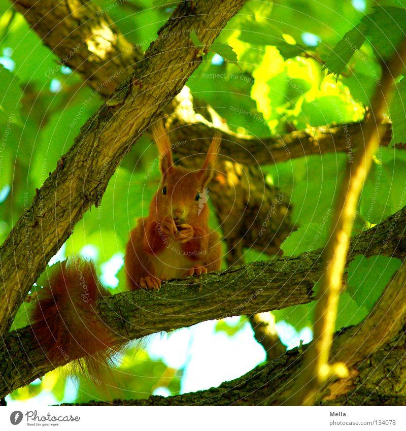 Frühlingshörnchen Umwelt Natur Pflanze Tier Baum Blatt Wildtier Eichhörnchen 1 festhalten Fressen hocken Blick sitzen natürlich Neugier niedlich grün Sicherheit