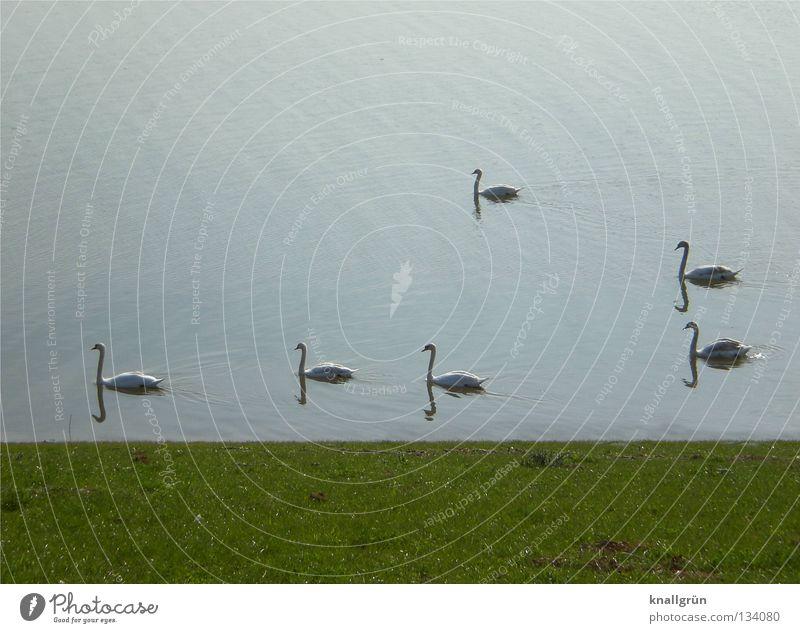 Gen Westen... Schwan Richtung Wiese grün weiß Vogel Federvieh Sonntagmorgen Frühling Wasser Rhein Rasen Küste blau Fluss 6 Stück Im Wasser treiben