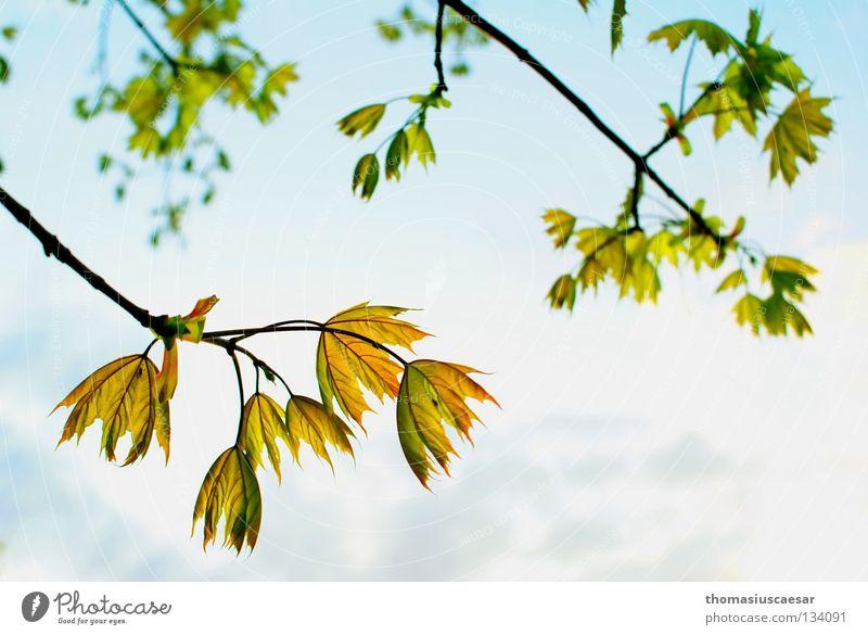 Frühlingserwachen Baum Blatt grün gelb Physik frisch Kraft Sommer sprießen Wachstum Erholung ruhig Gelassenheit Zufriedenheit Wärme Sonne Erfinden Natur