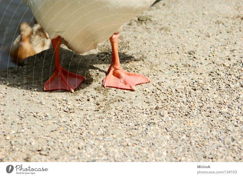 ente Tier Gans Kieselsteine Detailaufnahme entenfuß enfentfüße sandboden duck Fuß