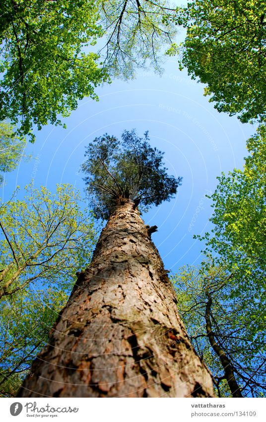 The Giant Pine Natur Himmel springen Frühling Tree Forest Wildtier Wideangle Sky