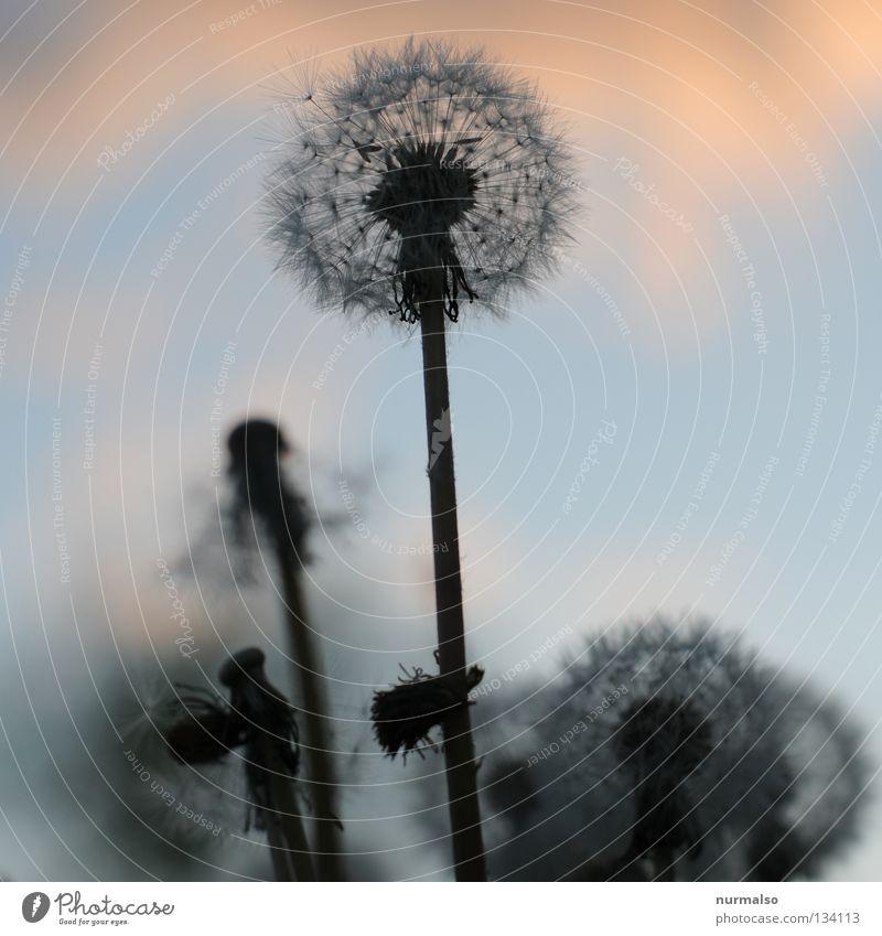 Puste Blume Löwenzahn Wiese gelb verblüht schön Frühling Physik Wohlgefühl Schweben leicht träumen traumhaft zart fein Feld Gärtner Pflanze Gefühle Samen Rasen