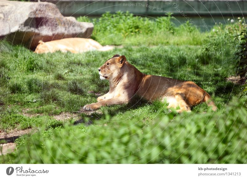 Relaxing lioness Löwe Löwin 1 Tier liegen africa animal big dangerous dying enclosure free freedom fur hide hostile mammal meadow protection strong tired