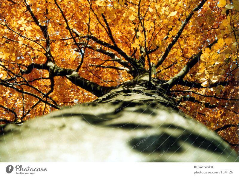 Herbststamm Baum Baumstamm Baumrinde Blatt Macht verzweigt oben Ast orange Kontrast entlangkrabbeln Schatten gold verästelt Natur