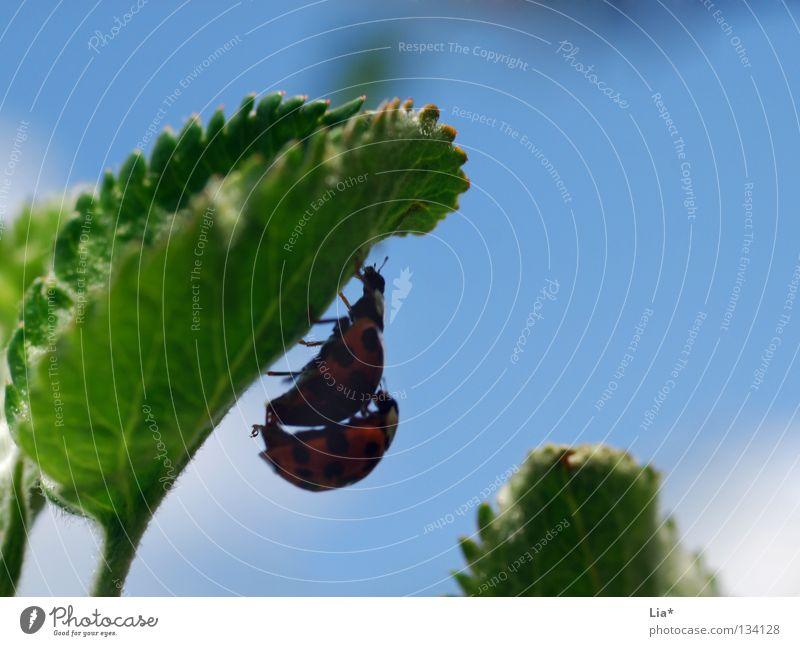 beetle love II blau grün Blatt klein 2 fliegen Tierpaar paarweise Insekt verstecken Käfer Marienkäfer krabbeln Biologie