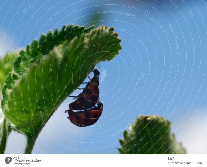 beetle love II Marienkäfer Insekt grün Biologie klein krabbeln Blatt 2 Käfer fortplanzung Makroaufnahme Nahaufnahme fliegen blau verstecken Schatten paarweise
