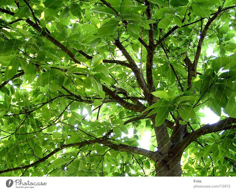 Kastanie grün Sommer Baum Kastanienbaum