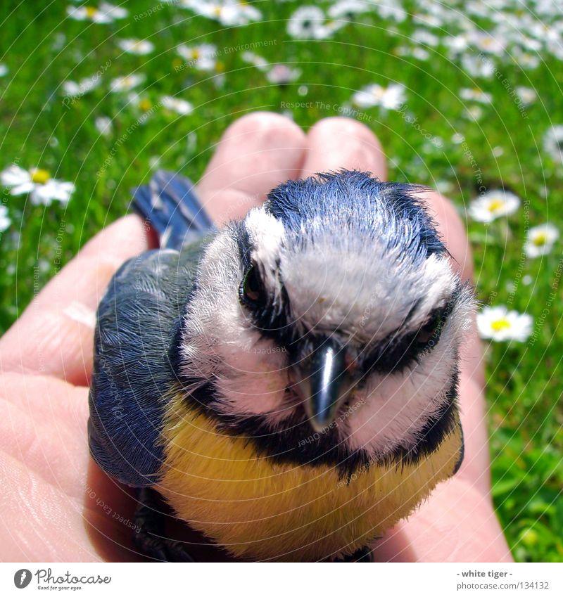 Scheiben-Unfall #4 Haut Hand Finger Natur Tier Gras Vogel klein weich blau gelb schwarz weiß Schutz Geborgenheit Hilfsbereitschaft Blaumeise Meisen Schnabel