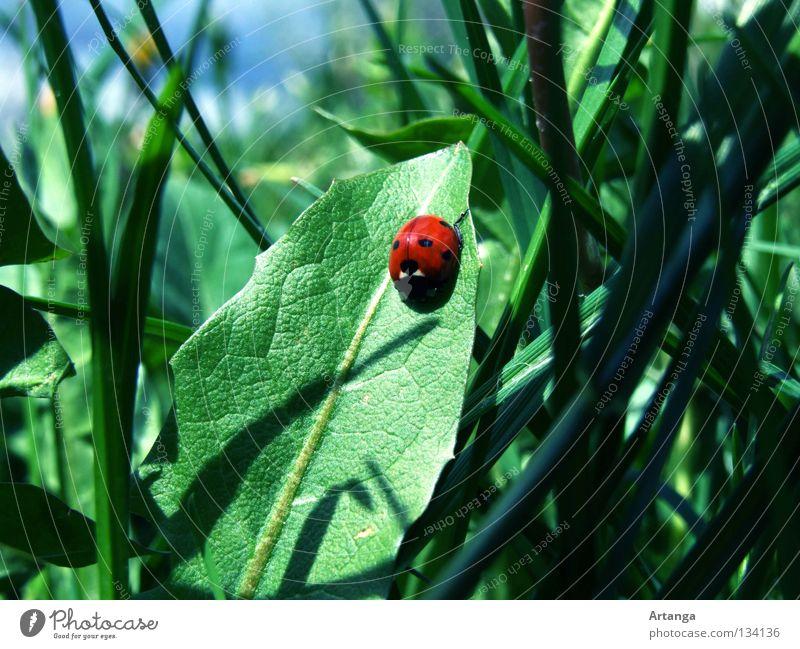 Sonnen grün rot Blatt Gras Frühling Marienkäfer