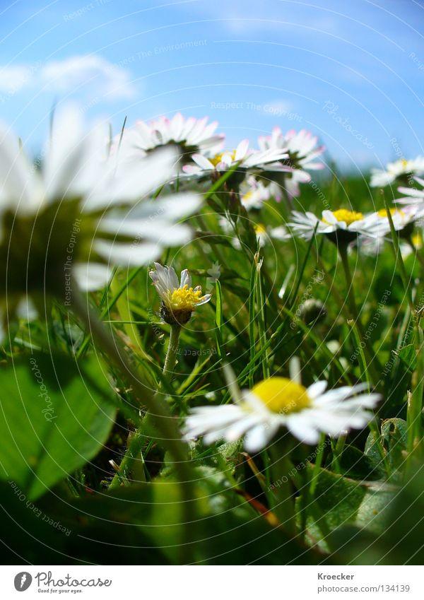Gänseblümchenwiese schön Leben ruhig Wärme Blume Wiese Wachstum blau grün Frieden Konzentration hell-blau Klee Kleeblatt Blauer Himmel Rasen Gras Klarer Himmel