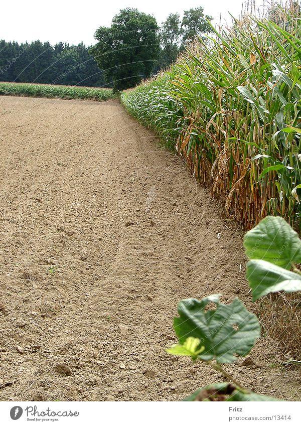 acker-im-sommer Sommer Feld Mais