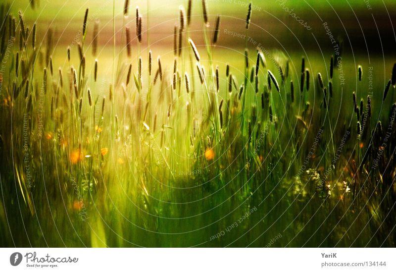 bunter lichtschein Pflanze Wiese Gras Halm Blume Feld Wind Herbst dunkel Abend Nacht Mondschein schwarz Schatten grün braun dunkelgrün unheimlich unheilbringend