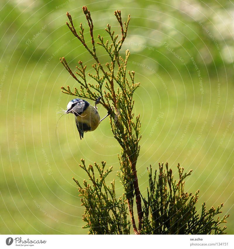 Nestbau Wiese Frühling Vogel Zufriedenheit Sträucher Zweig Meisen Blaumeise