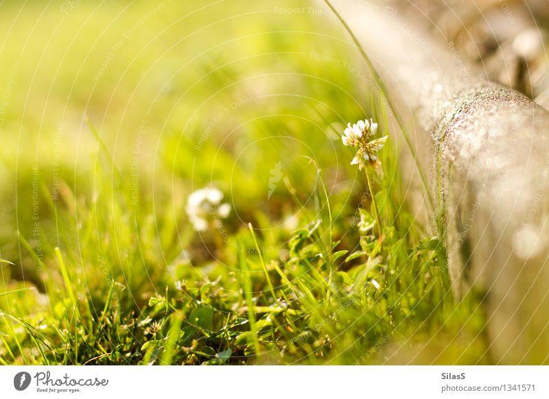 Ist schon wieder Frühling? Umwelt Natur Schönes Wetter Pflanze Blume Gras Garten genießen Wärme gelb grau grün Wellness Farbfoto Außenaufnahme Menschenleer Tag