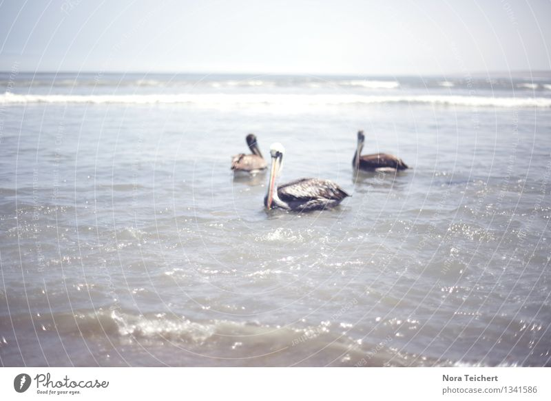 Huanchaco, Peru. Umwelt Natur Landschaft Tier Himmel Horizont Sonne Sommer Schönes Wetter Wellen Küste Strand Meer Südamerika Fischerdorf Wildtier Vogel Pelikan