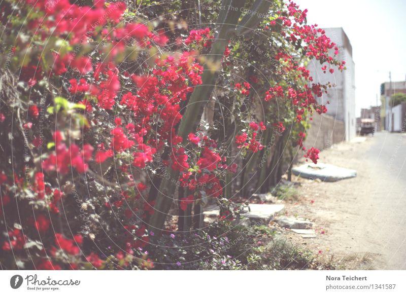 Blumig. (Huanchaco, Peru) Umwelt Natur Pflanze Sommer Wetter Schönes Wetter Baum Blume Sträucher Blatt Blüte Wildpflanze Garten Park Trujillo Südamerika