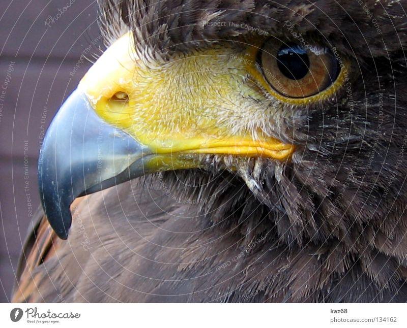 Hermann Natur schön Tier Auge Leben Umwelt Freiheit Stil Vogel fliegen Luftverkehr Flügel Feder beobachten Konzentration Jagd