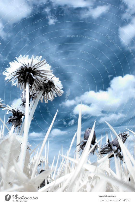 Marienkäfersicht in IR Himmel Natur blau weiß Baum Pflanze Wolken schwarz Wiese Gras Frühling hoch Weide Löwenzahn Surrealismus Sonnenblume