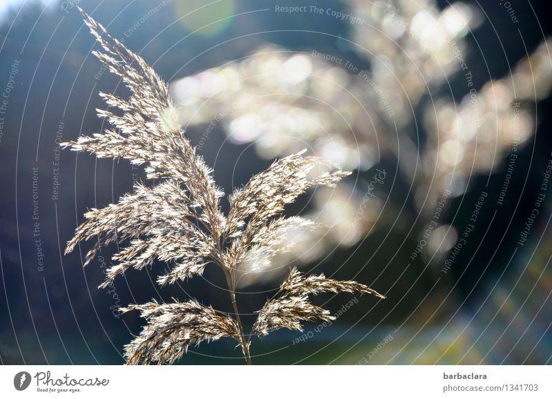 im Licht Umwelt Natur Pflanze Wasser Sonne Gras Schilfgras Seeufer leuchten hell blau weiß Stimmung Glück Warmherzigkeit Sinnesorgane Farbfoto Außenaufnahme
