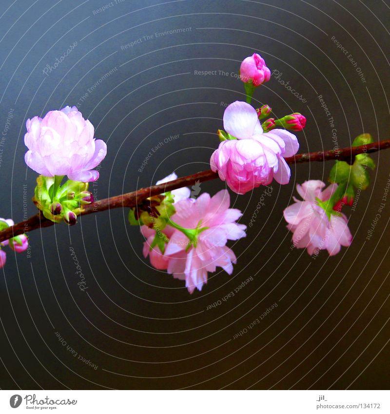 kirschblüte 4 elegant Glück schön harmonisch Wohlgefühl Zufriedenheit Erholung Duft Pflanze Frühling Blume Blüte ästhetisch weich braun grau grün rosa