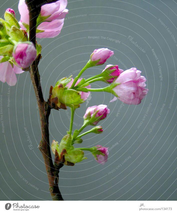 kirschblüte 5 elegant schön Wohlgefühl Duft Natur Pflanze Frühling Blume Blüte braun grau grün rosa rein Kirschblüten Ast Zweig Japan Asien Farbfoto