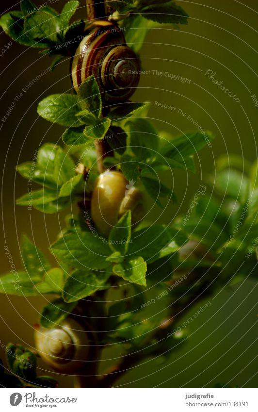 Wohnen im Grünen Schneckenhaus Landlungenschnecke grün Sträucher Blatt Ernährung Pflanze Tier Haus Wohngemeinschaft Farbe bänderschnecke schnirkelschnecke Zweig