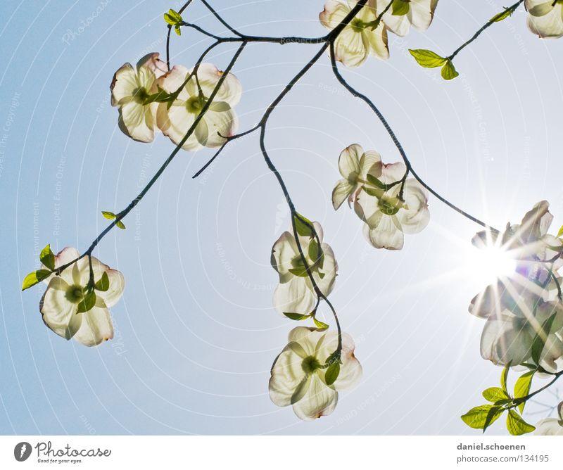 auf dem Rücken liegen Natur Himmel weiß Baum Sonne Blume blau Sommer Blüte Frühling Perspektive Sträucher Schönes Wetter Blütenknospen