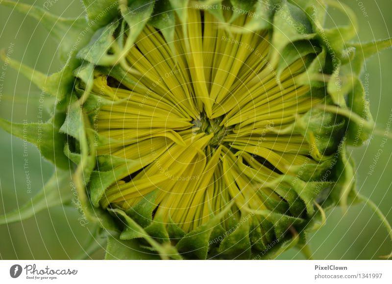Sonnenblume Lebensmittel Kräuter & Gewürze Öl Ernährung Vegetarische Ernährung schön Parfum Gesundheit Wellness harmonisch Küche Landwirtschaft Forstwirtschaft