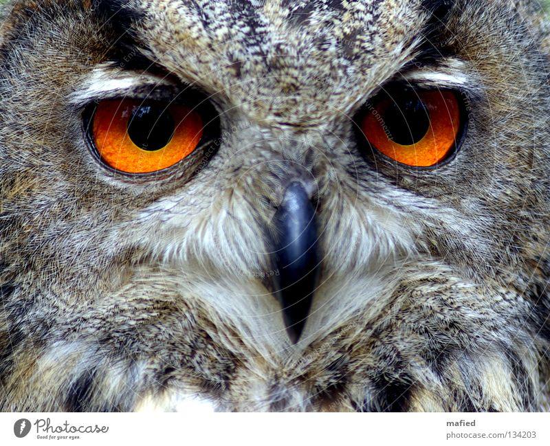 Uhu III Eulenvögel ruhig schwarz Auge gelb grau braun orange Vogel weich Frieden Feder Wildtier Jagd sanft