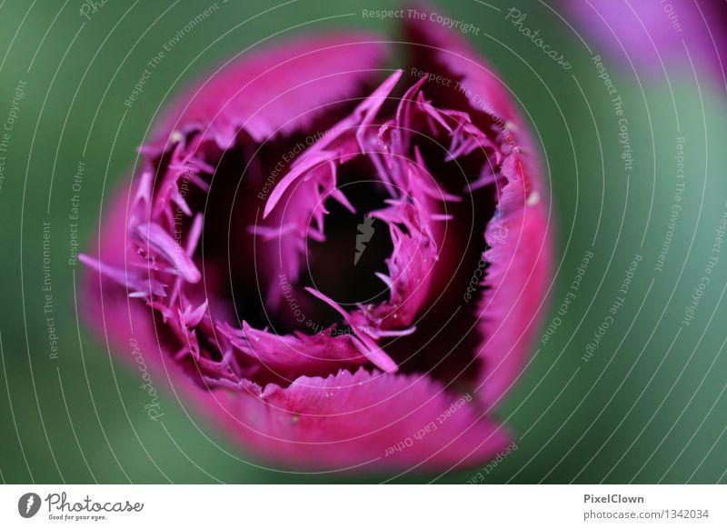 Tulpe Reichtum schön Kosmetik Parfum Wellness Leben harmonisch Wohlgefühl Duft Kur Spa Sommer Landwirtschaft Forstwirtschaft Natur Pflanze Blume Nutzpflanze