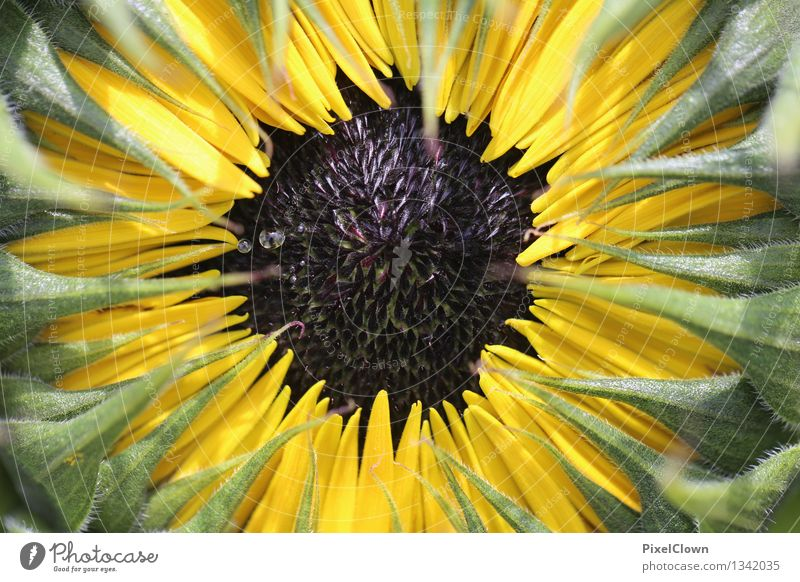 Sonnenblume Natur Ferien & Urlaub & Reisen Pflanze schön Sommer Erholung Blume ruhig gelb Blüte Gefühle Feld Wachstum Blühend Landwirtschaft Wellness