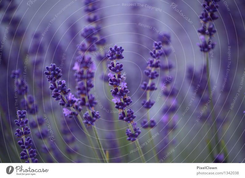 Lavendel Natur Pflanze schön Sommer Blume Landschaft Blatt Leben Blüte Gefühle Garten Park träumen Feld Tourismus Wachstum