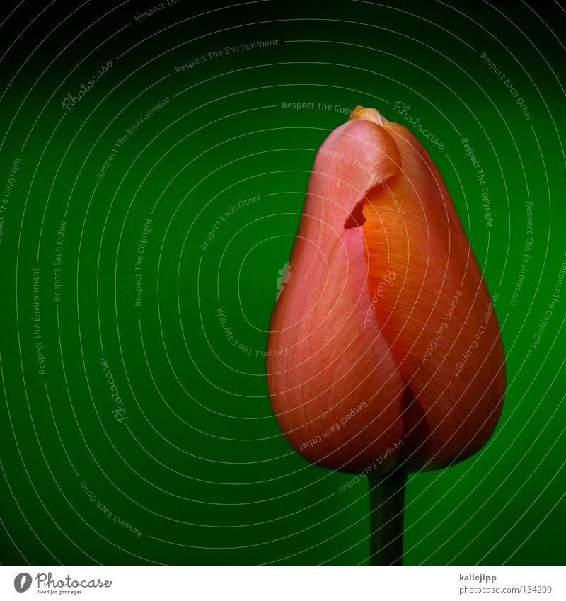 kein sex vor der ehe? Tulpe Pflanze Blüte Wachstum grün rosa Reifezeit Ehe Symbole & Metaphern geschlossen Stengel Staubfäden Keuschheitsgürtel Frühling rot
