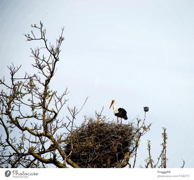 Wieder zu Hause Dach Baum Nest Storch Vogel Gelege Brutpflege Futter Nahrungssuche Feder schwarz weiß Wolken überwachen Schnabel Frühling Himmel Ast fliegen