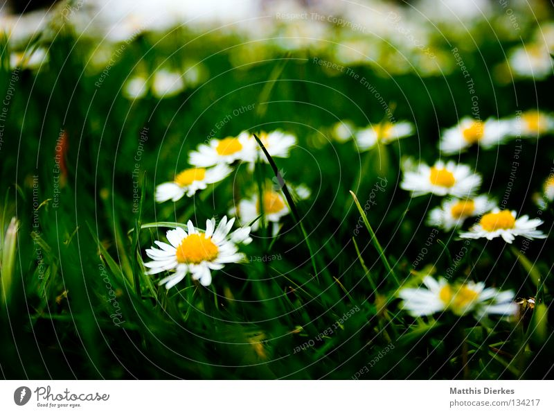 Wiese Gras Blume Blüte gelb Kranz Gänseblümchen Sommer Frühling Erfrischung Fröhlichkeit dunkel Pflanze Biologie ruhen schön Unschärfe Trauer Vergänglichkeit