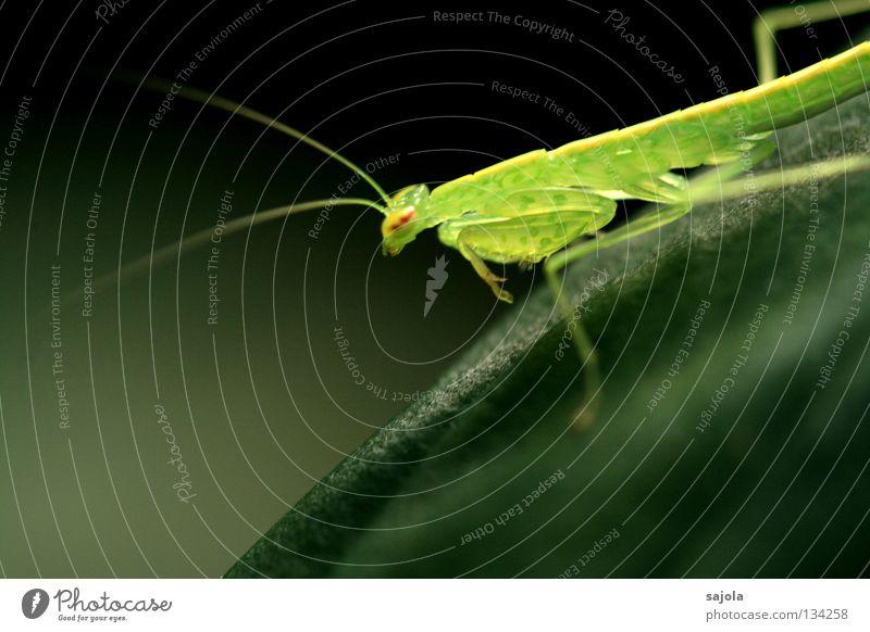 fragil grün Auge Tier Kopf Beine warten Asien Insekt Stengel Fühler zerbrechlich Singapore Heuschrecke Tarnung Anpassung Makroaufnahme