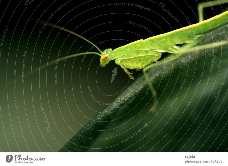 fragil Tier warten grün zerbrechlich durchscheinend Gottesanbeterin Heuschrecke Beine Auge Insekt Singapore Asien Tarnung Fleischfresser Kopf Anpassung Fühler