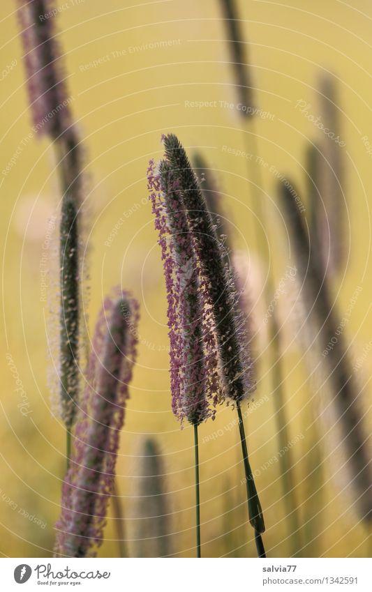 Grasblüten Natur Pflanze Sommer Blüte Lieschgras Wiese berühren Blühend Duft verblüht Wachstum dünn Stimmung ruhig ästhetisch Erholung Idylle Gräserblüte