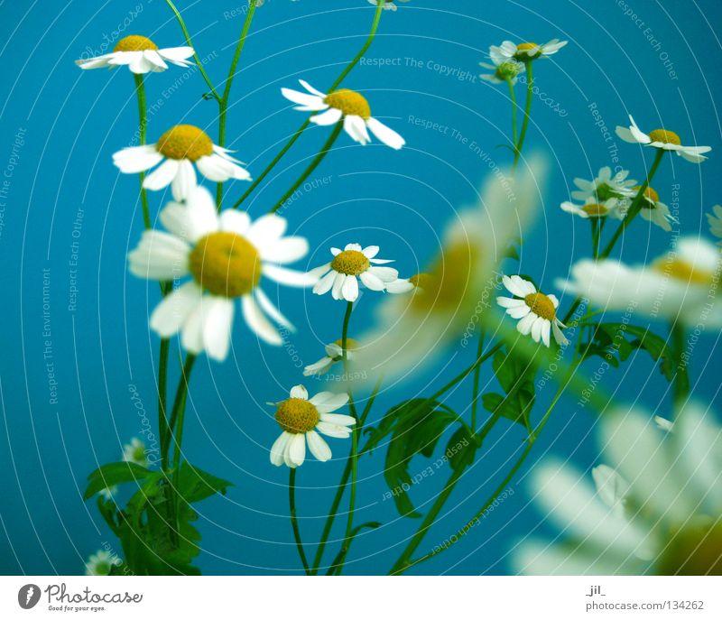 kamill 3 Sommer Natur Pflanze Frühling Blume frisch viele blau gelb grün weiß Leichtigkeit Kamille leicht fein zierlich mehrere Heilpflanzen Farbfoto