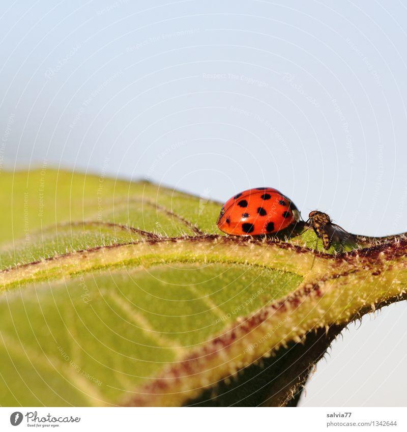 Wer bist denn du? Umwelt Natur Pflanze Tier Himmel Sommer Blatt Fliege Käfer Marienkäfer 2 berühren genießen Kommunizieren krabbeln leuchten glänzend klein