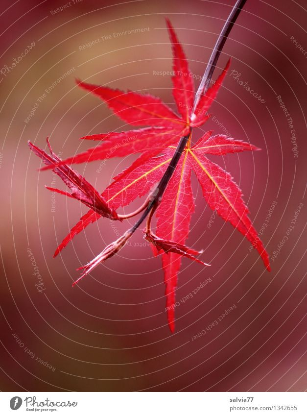 Rotfärbung Natur Pflanze Farbe Baum Erholung rot Blatt Herbst Glück Stimmung Park Wachstum leuchten ästhetisch Wandel & Veränderung Hoffnung