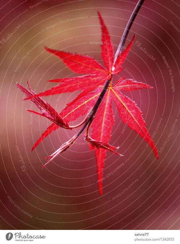 Rotfärbung Natur Pflanze Herbst Baum Blatt Japanischer Ahorn Ahornzweig Park Wachstum ästhetisch rot Stimmung Glaube Erholung Glück Hoffnung