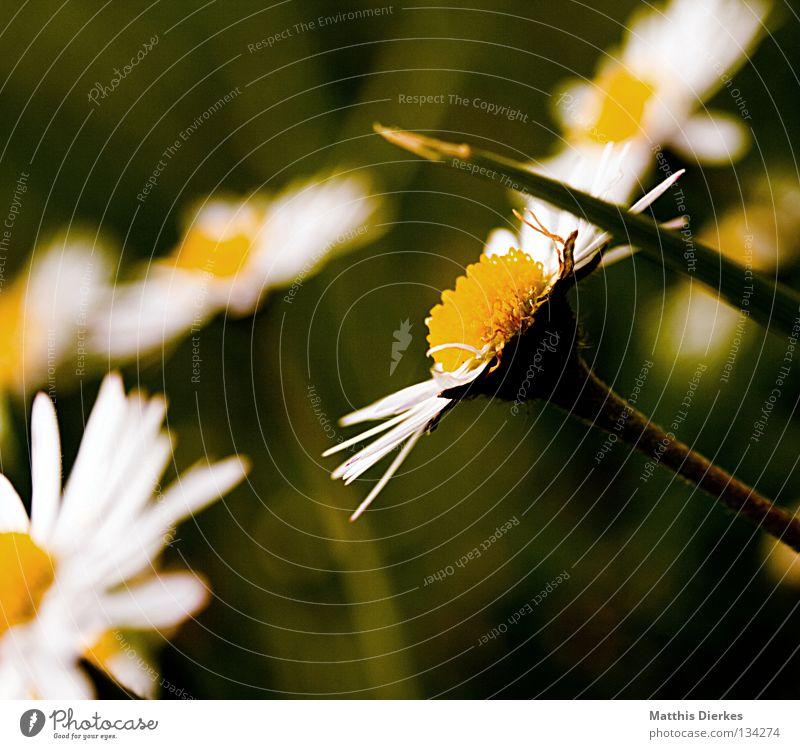 Gänseblümchen Wiese Gras Blume Blüte gelb Kranz Sommer Frühling Erfrischung Fröhlichkeit dunkel Pflanze Biologie ruhen schön Unschärfe Trauer Makroaufnahme