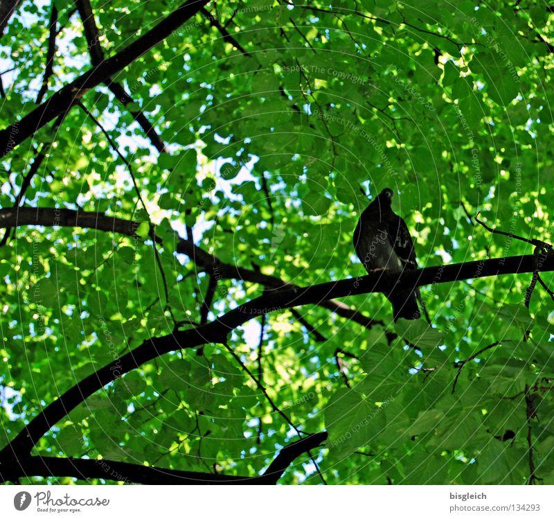 Taubenbaum I Baum grün Blatt Tier Frühling Vogel Ast Taube Zweig