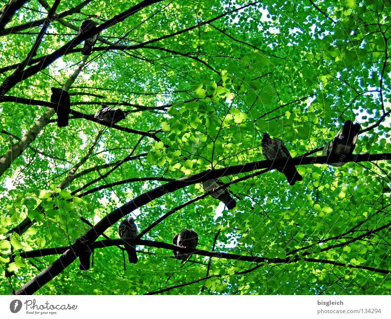 Taubenbaum II Farbfoto Außenaufnahme Menschenleer Morgen Froschperspektive Frühling Baum Blatt Tier Vogel Tiergruppe grün pigeon birds springtime Ast Zweig Tag
