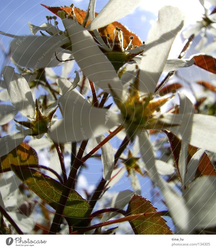 frühling Frühling Sommer himmelblau hell-blau Sträucher Blüte weiß Blatt Blütenblatt braun grün frisch genießen Physik Sonnenstrahlen träumen Blauer Himmel