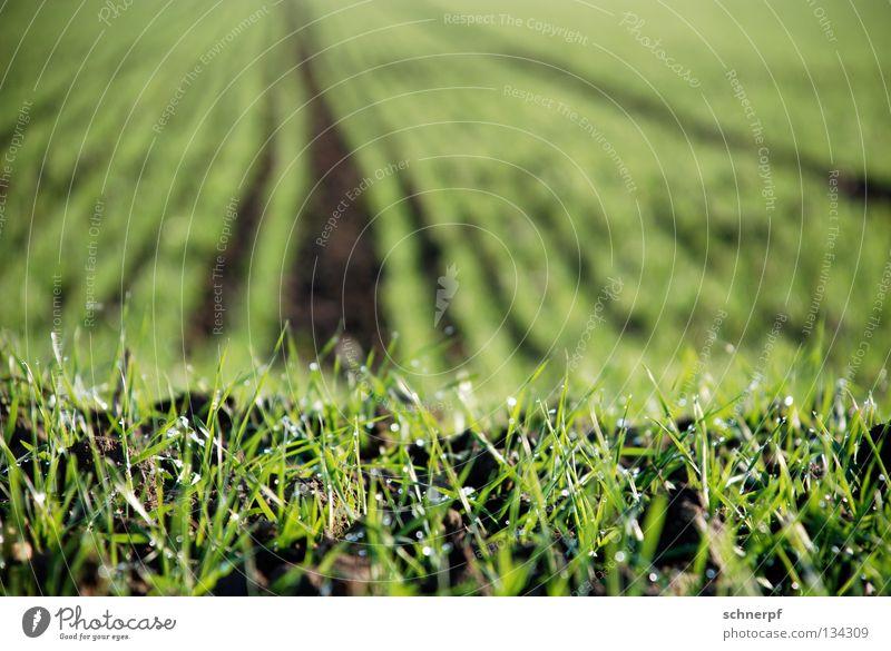Brot im Frühstadium Gras Feld grün frisch feucht Weizen Roggen Grasnarbe Hügel Grünfläche Grasland Viehweide Weide Rasen nass Regen Sportrasen Wiese fruchtbar