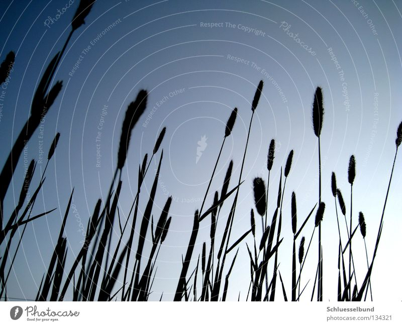 Riesengras Himmel blau schwarz Wiese dunkel Gras Frühling hell dünn lang Wolkenloser Himmel