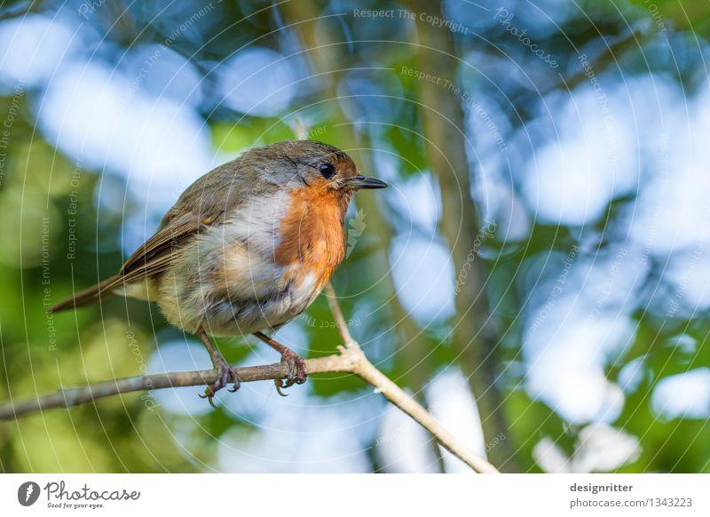 Der frühe Vogel … Familie & Verwandtschaft Umwelt Natur Frühling Sommer Schönes Wetter Baum Park Wald Singvögel Rotkehlchen 1 Tier schön klein niedlich rund rot